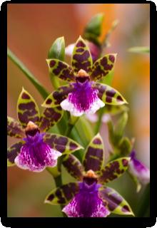 orchidee 14e